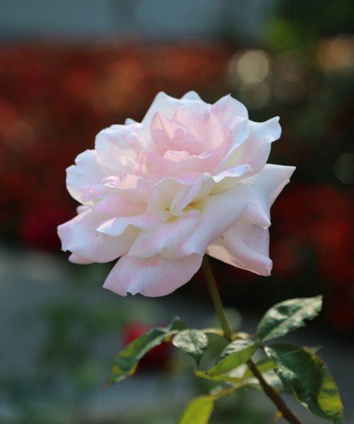 Rose-light-pink